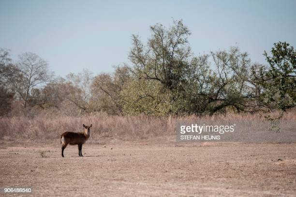 A waterbuck poses at Pendjari National Park near Tanguieta on January 10 2018 Pendjari National Park is one of the largest intact ecosystems in West...