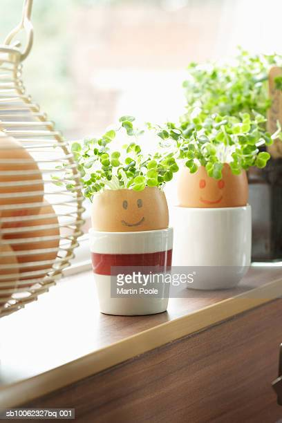 Watercress growing in eggs shells on window sill