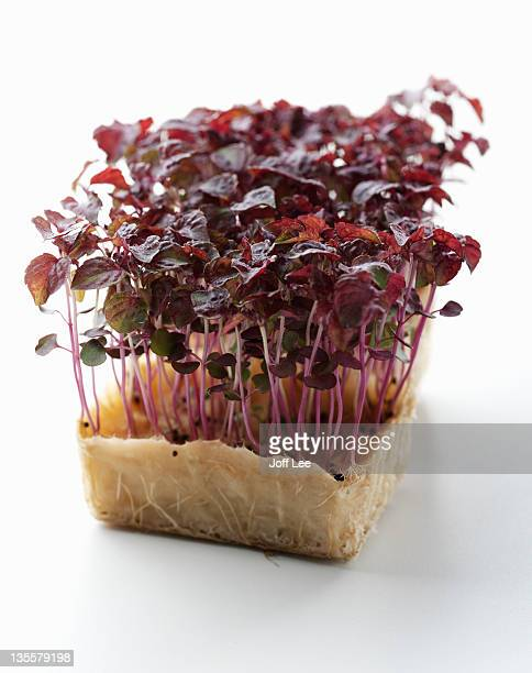 watercress - shiso stock pictures, royalty-free photos & images