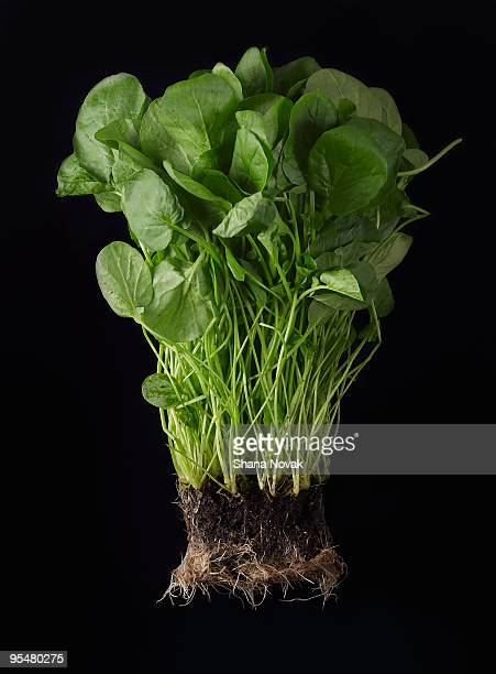 Watercress Roots