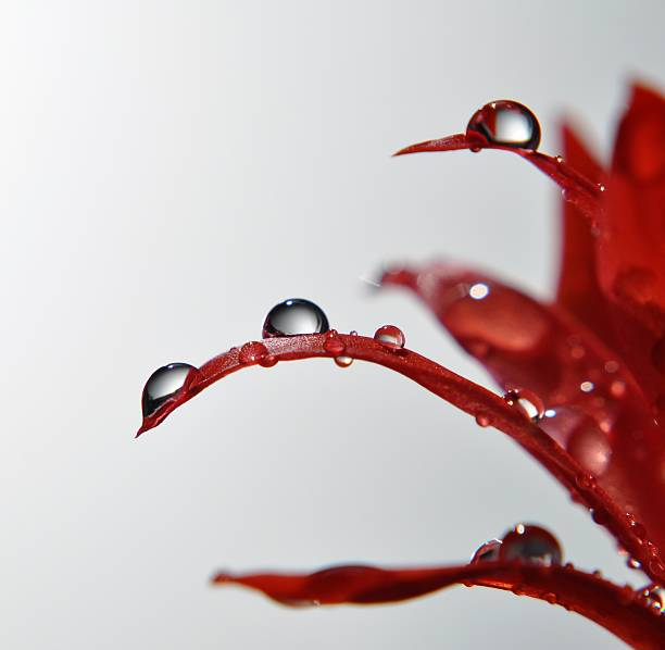 Waterdroplets on cactus petals