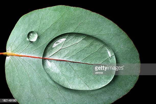 waterdrops on eucalyptus - eucalyptus tree stock pictures, royalty-free photos & images