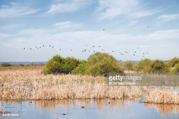 Waterfowl flying in Doñana National Park