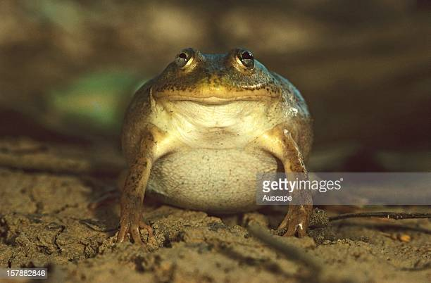 Waterholding frog can fill its body with water as ephemeral inland wetlands dry up and remain buried in soil until the next rains Its swollen body is...