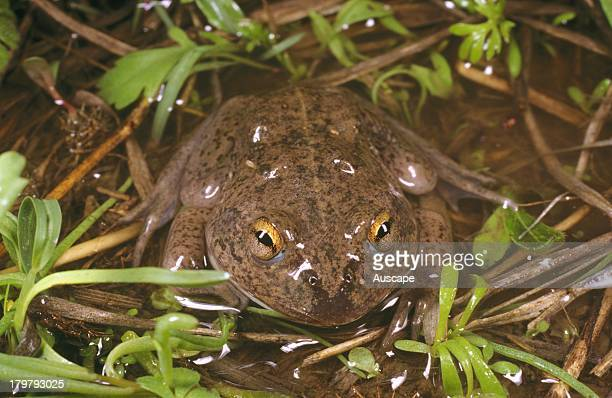 Waterholding frog Cyclorana platycephala Goodiwindi Queensland Australia