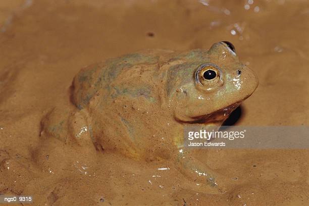 A water-holding frog is mired in mud