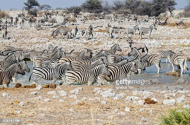waterhole in etosha national park, namibia - ignatius tan stock photos and pictures