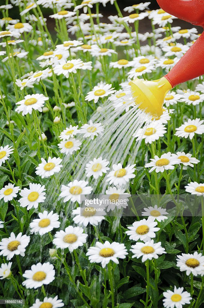 Watering a daisy flower bed : Stock Photo