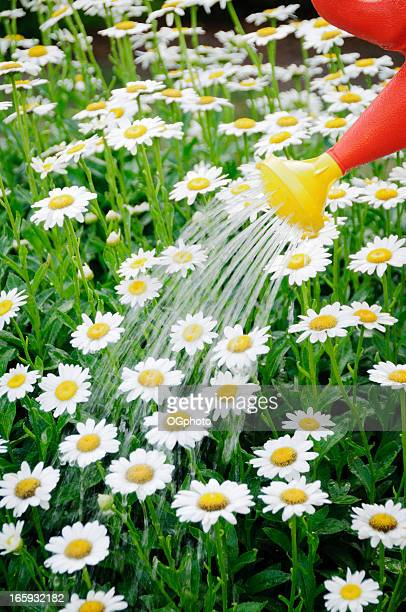 watering a daisy flower bed - ogphoto stock photos and pictures