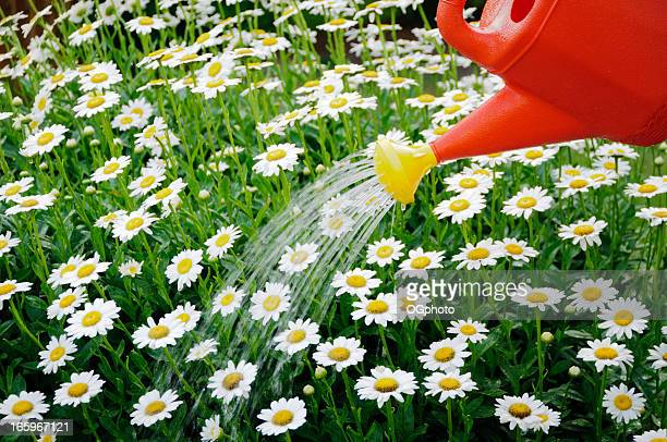 watering a daisy flower bed - ogphoto stock pictures, royalty-free photos & images