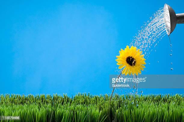 Arroser une fleur