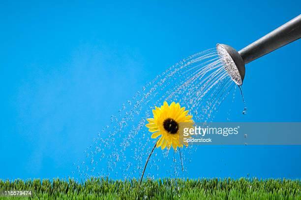 Regar uma flor