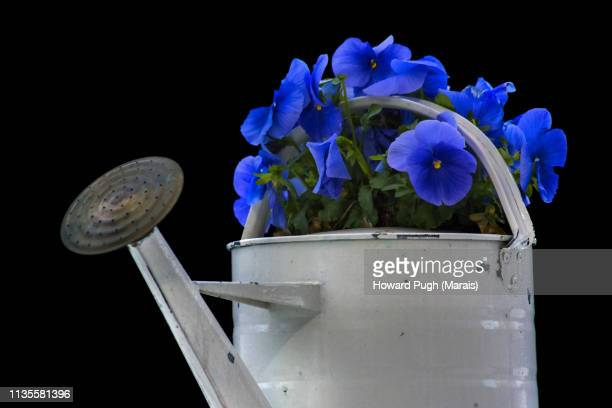 Watering Can. Potted Pansies. Idyllic Spring Images