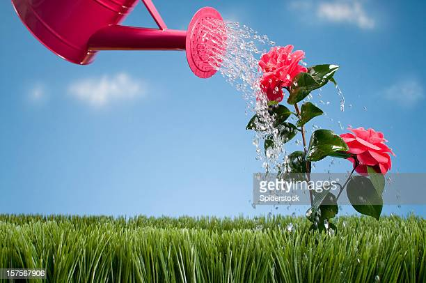 Watering Can Showering A Camellia