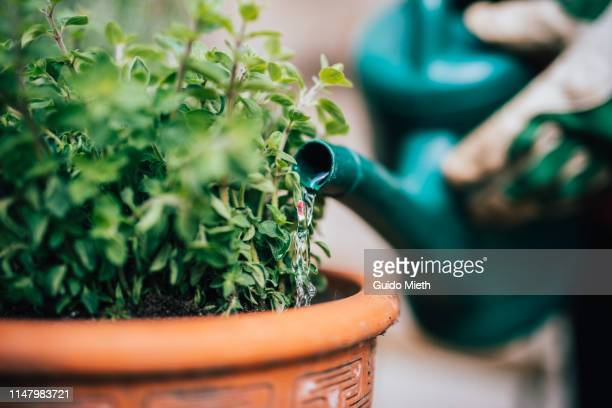 watering fresh planted herbage. - horticulture stock pictures, royalty-free photos & images