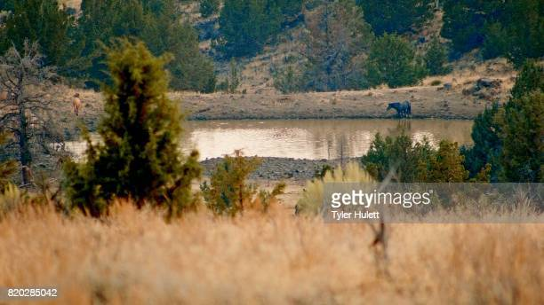 watering hole herd wild horses steens mountain near malhuer wildlife refuge 16 - steens mountain stock pictures, royalty-free photos & images