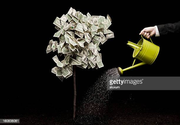 watering money tree - money tree stock photos and pictures