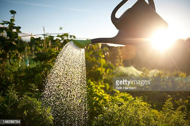 Watering vegetables on allotment