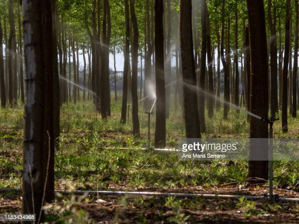 watering with sprinklers a tree plantation - sprinkler system stock pictures, royalty-free photos & images