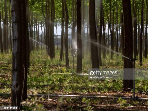watering with sprinklers a tree plantation - árvore de folha caduca - fotografias e filmes do acervo