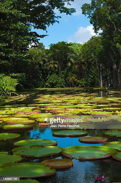 Waterliliy pads, Pamplemousses gardens, Mauritius