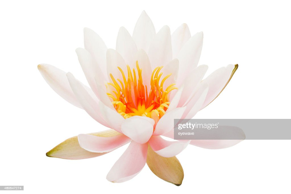 Waterlily isolated on white : Stock Photo