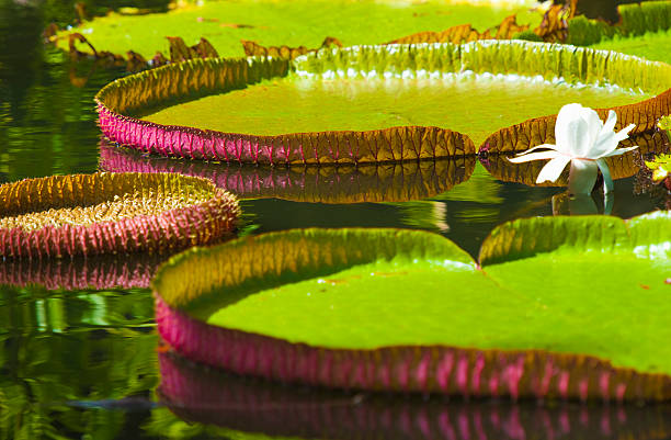 Waterlily pads, Pamplemousses gardens, Mauritius