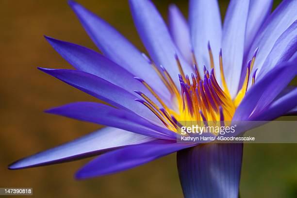 waterlily - lily harris photos et images de collection