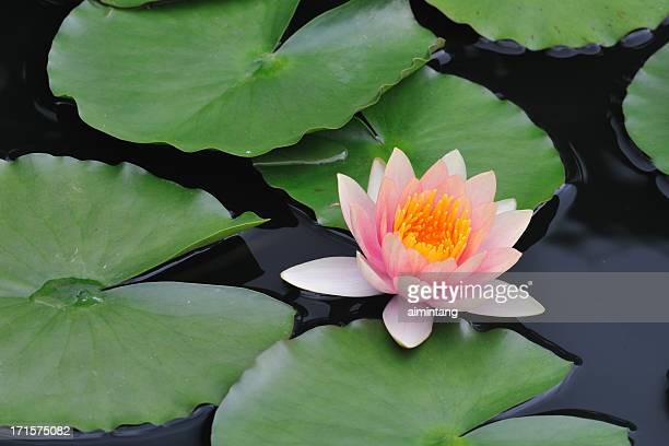 waterlily - water garden stock pictures, royalty-free photos & images
