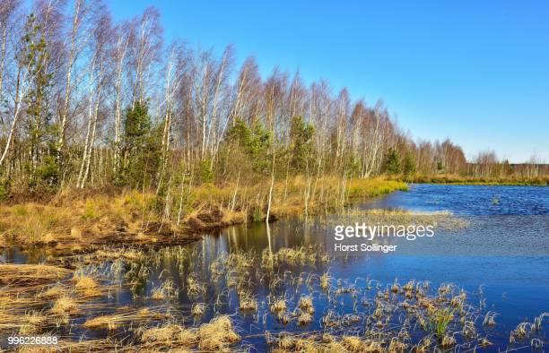 Waterlogged peat cutting area with a Birch grove (Betula pubescens), peat bog, Grundbeckenmoor near in Raubling, Bavaria, Germany