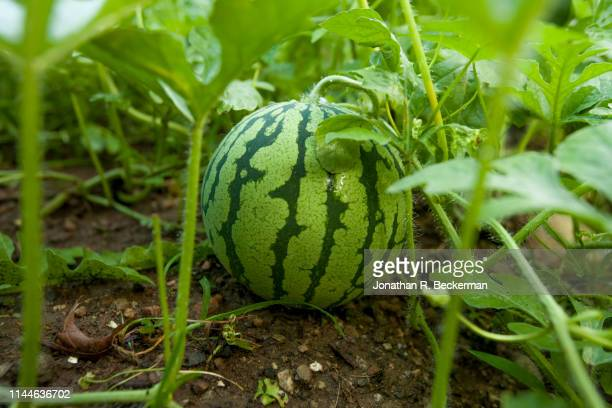 watermelon in organic summer garden - watermelon stock pictures, royalty-free photos & images