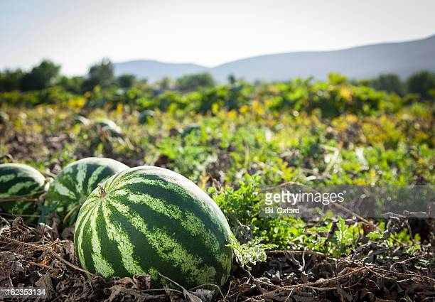 watermelon - crop plant stock photos and pictures
