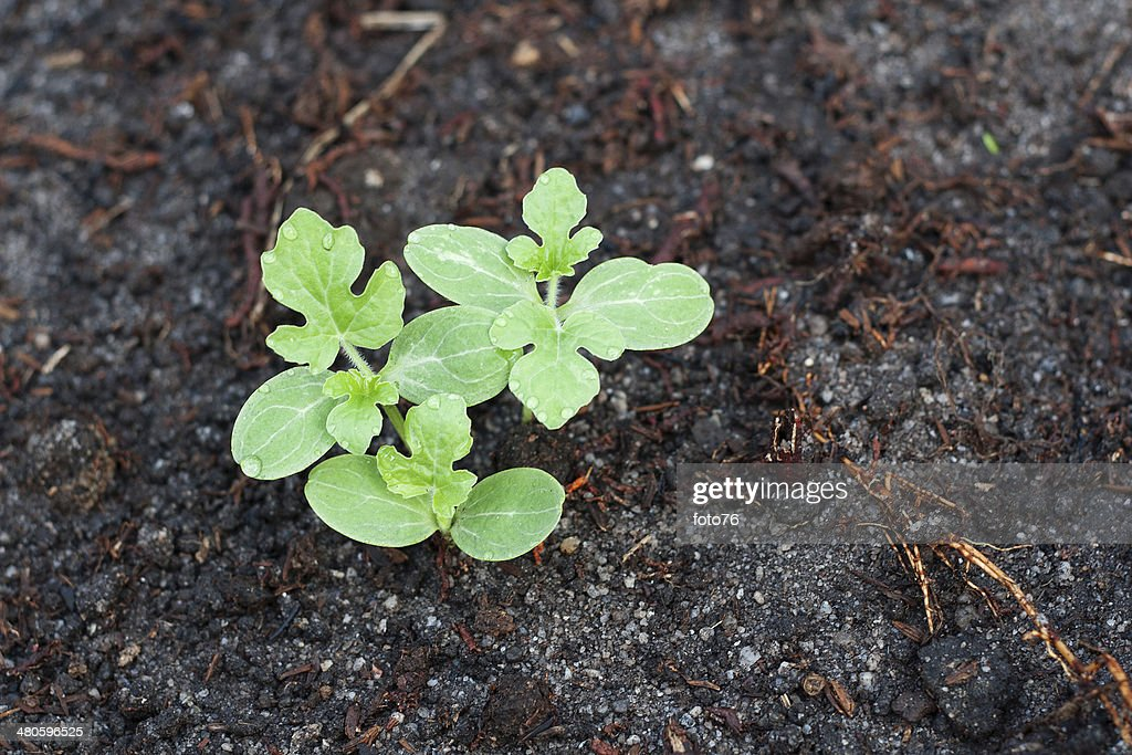 Watermelon Seedling : Stock Photo
