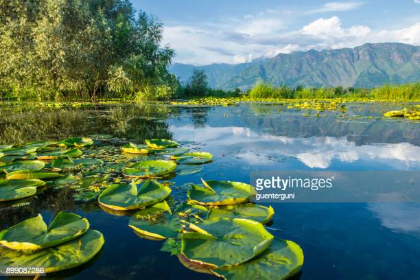 waterplants on dal lake, srinagar, kashmir, india - kashmir stock photos and pictures