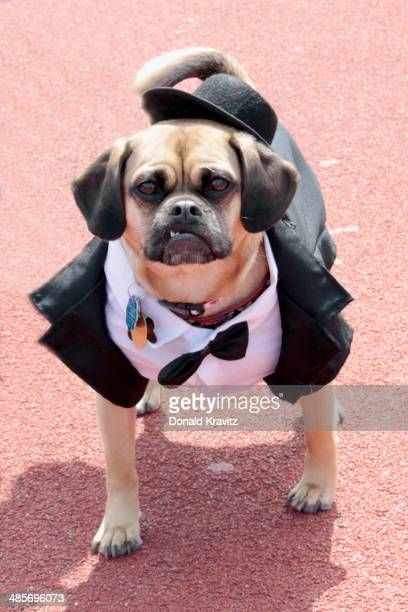Watson, a Puggle from Sewell, NJ attends the 2014 Woofin' Paws Pet Fashion Show at Carey Stadium on April 19, 2014 in Ocean City, New Jersey.