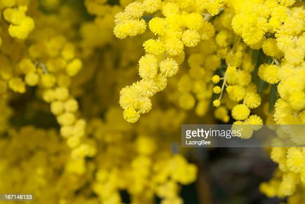wattle bloom in differential focus - mimosa stock pictures, royalty-free photos & images