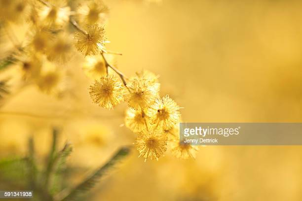 wattle flower (acacia baileyana) - acacia tree stock photos and pictures