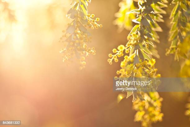 wattle flower - mimosa stock pictures, royalty-free photos & images