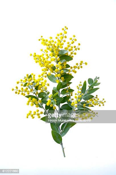 wattle flowers - mimosa stock pictures, royalty-free photos & images