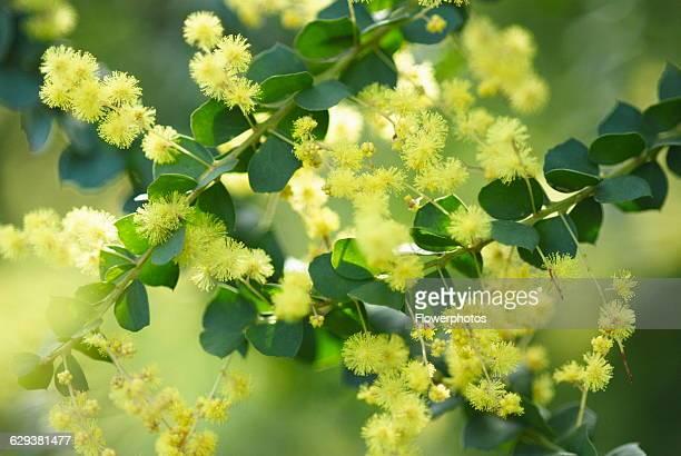 Wattle / Mimosa Acacia variety not identified