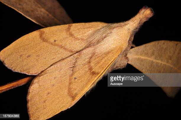 Wattle snout moth female mimic of dead leaves The wings of the males have straight edges Sputheastern Australia