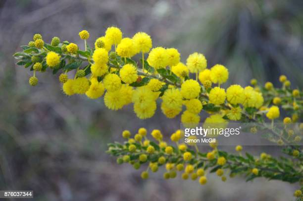 wattle tree in bloom - mimosa stock pictures, royalty-free photos & images