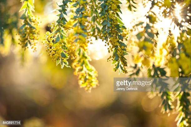 wattle tree in flower - acacia tree stock photos and pictures