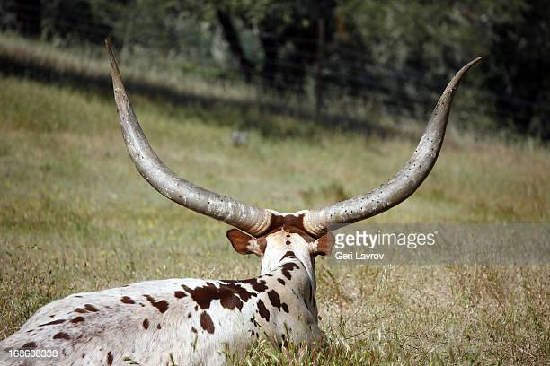 Watusi cattle (rear view)