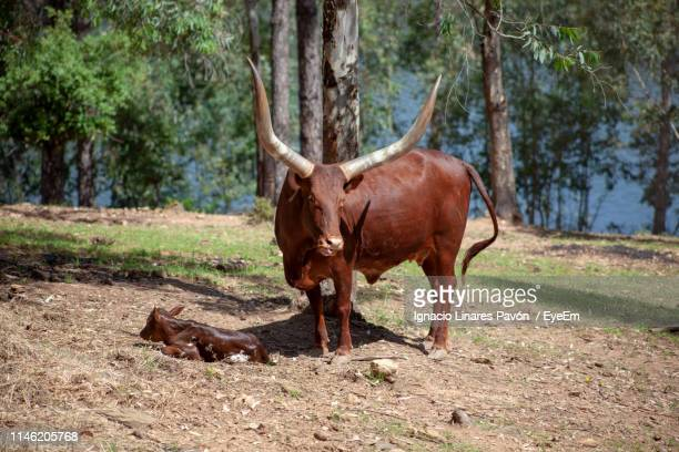 Watusi Standing With Calf By Tree Trunk