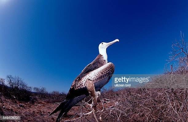 Waved Albatross Diomedea Irrorata Ecuador South America Galápagos Galapagos Island Pacific Ocean