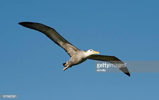 galapagos-albatros fliegen im galapagos - albatros stock-fotos und bilder