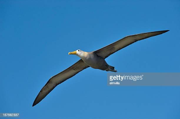 Albatroz-das-galápagos voar