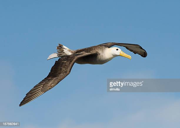 Waved Albatross in the Galapagos