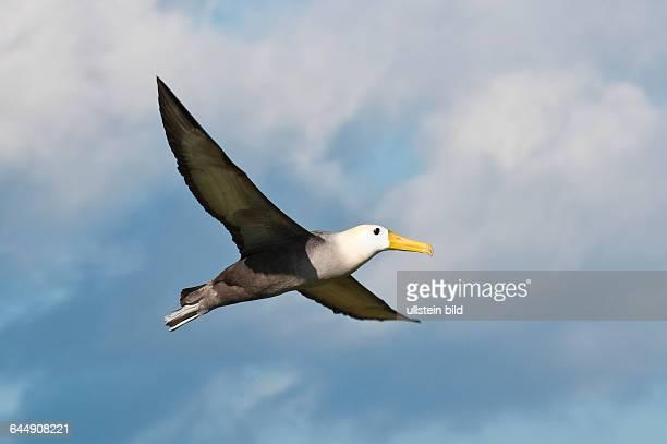Waved albatross Suárez Point Isla EspaÄola Galapagos Islands Ecuador